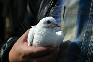 Live Pigeon Capture