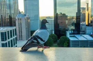 Pigeon overlooking Mesa downtown buildings